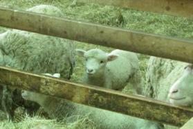Lismore Sheep Farm